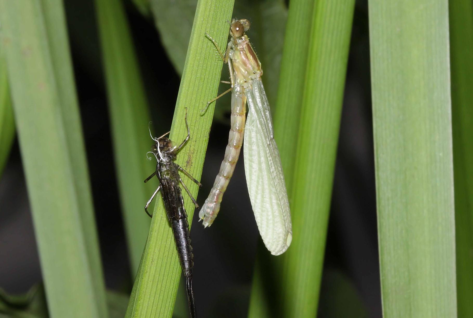 Gemeine Weidenjungfer, Chalcolestes viridis, Weibchen beim Schlupf (4).