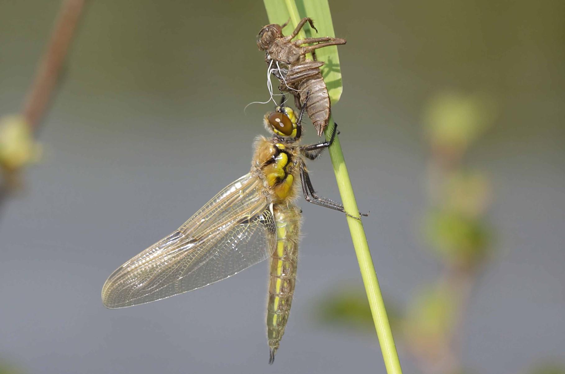...Vierfleck, Libellula quadrimaculata, kurz vor der Entfaltung der Flügel...