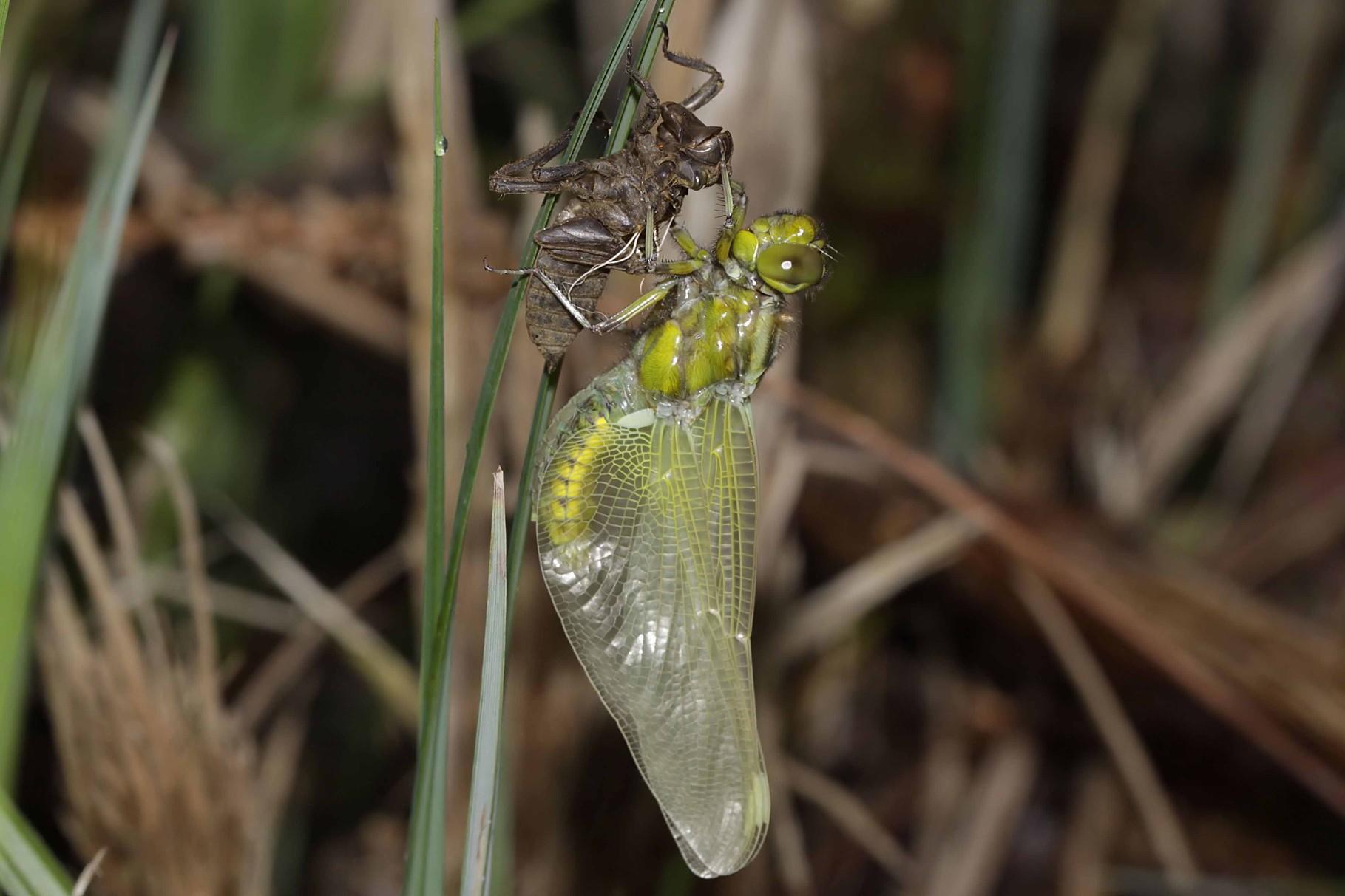 Plattbauch, Libellula depressa, Weibchen beim Schlupf (4).