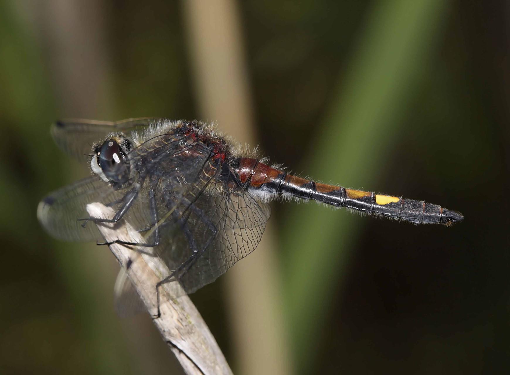 Große Moosjungfer, Leucorrhinia pectoralis.