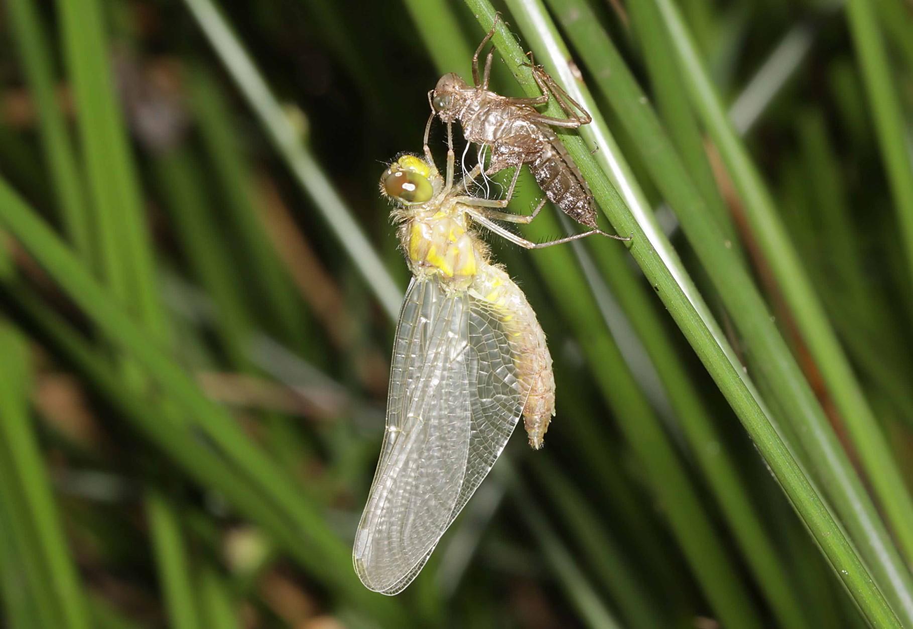 Kleine Moosjungfer, Leucorrhinia dubia, Weibchen beim Schlupf (2).
