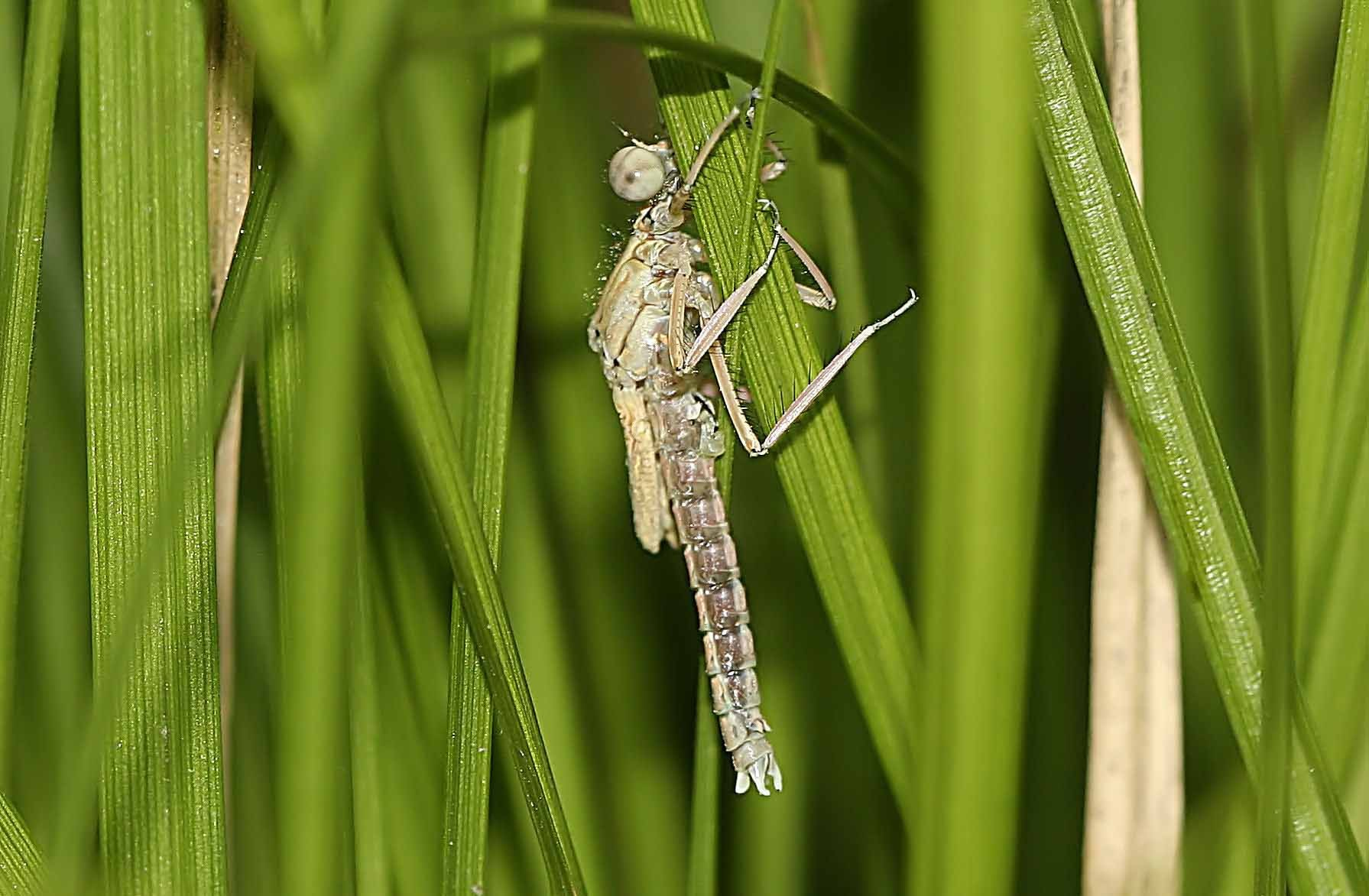 Gleich darauf sucht die junge Libelle Schutz in der dichten Vegetation.