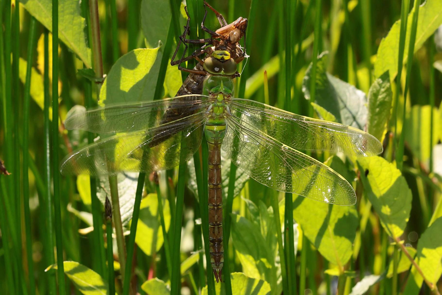 14.31 h: Die Flügel sind entfaltet, das Tier bereitet sich durch Zittern der Flügel auf den Jungfernflug vor.