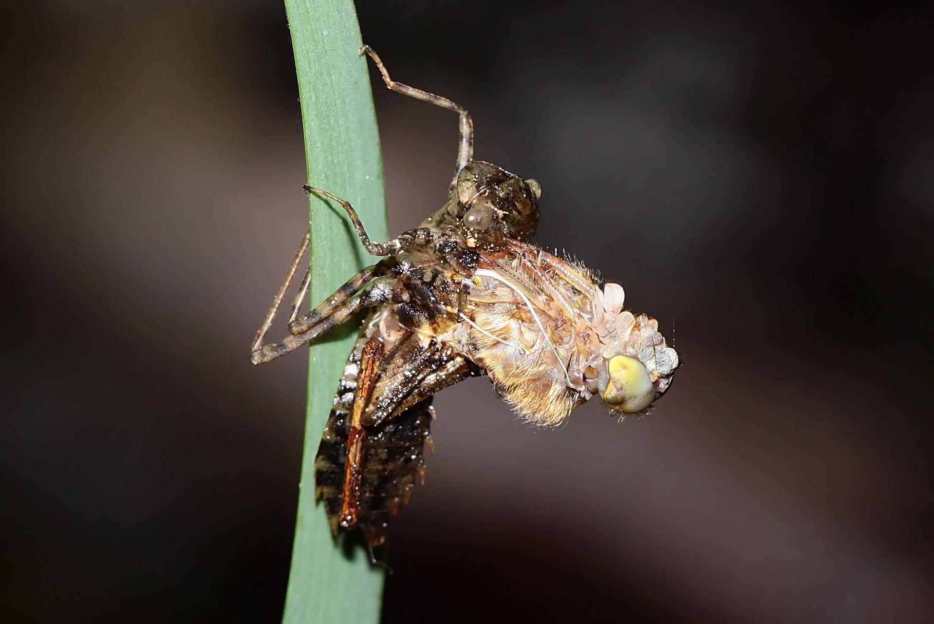 Die junge Libelle schiebt sich zunächst nach oben aus der Larvenhülle heraus.