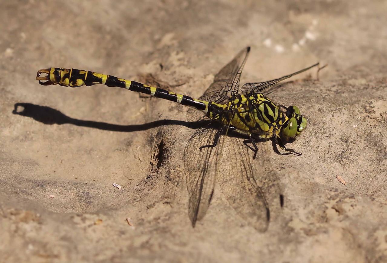 Kleine Zangenlibelle, Onychogomphus forcipatus, Männchen.