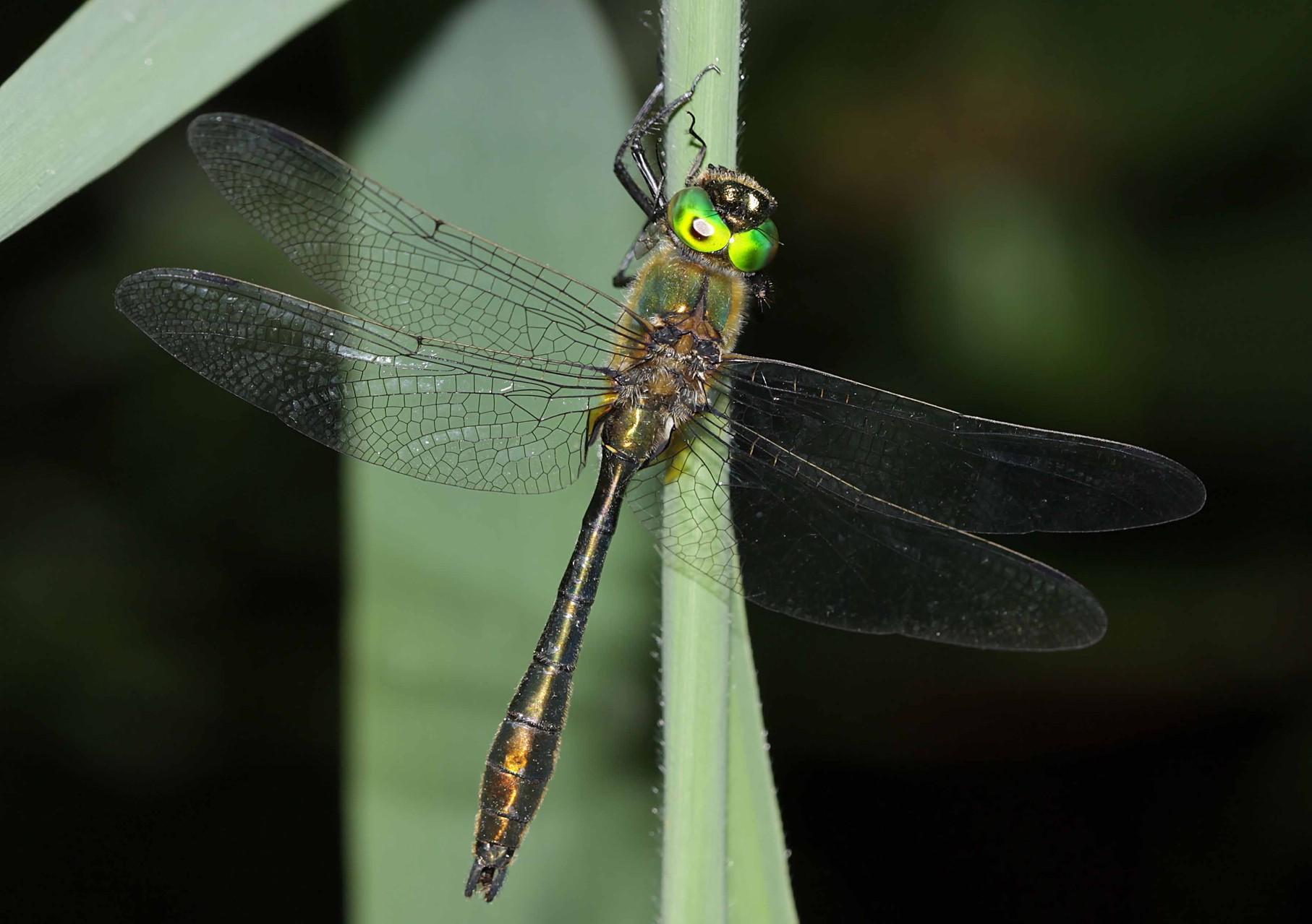 Gemeine Falkenlibelle, Cordulia aenea, Männchen.