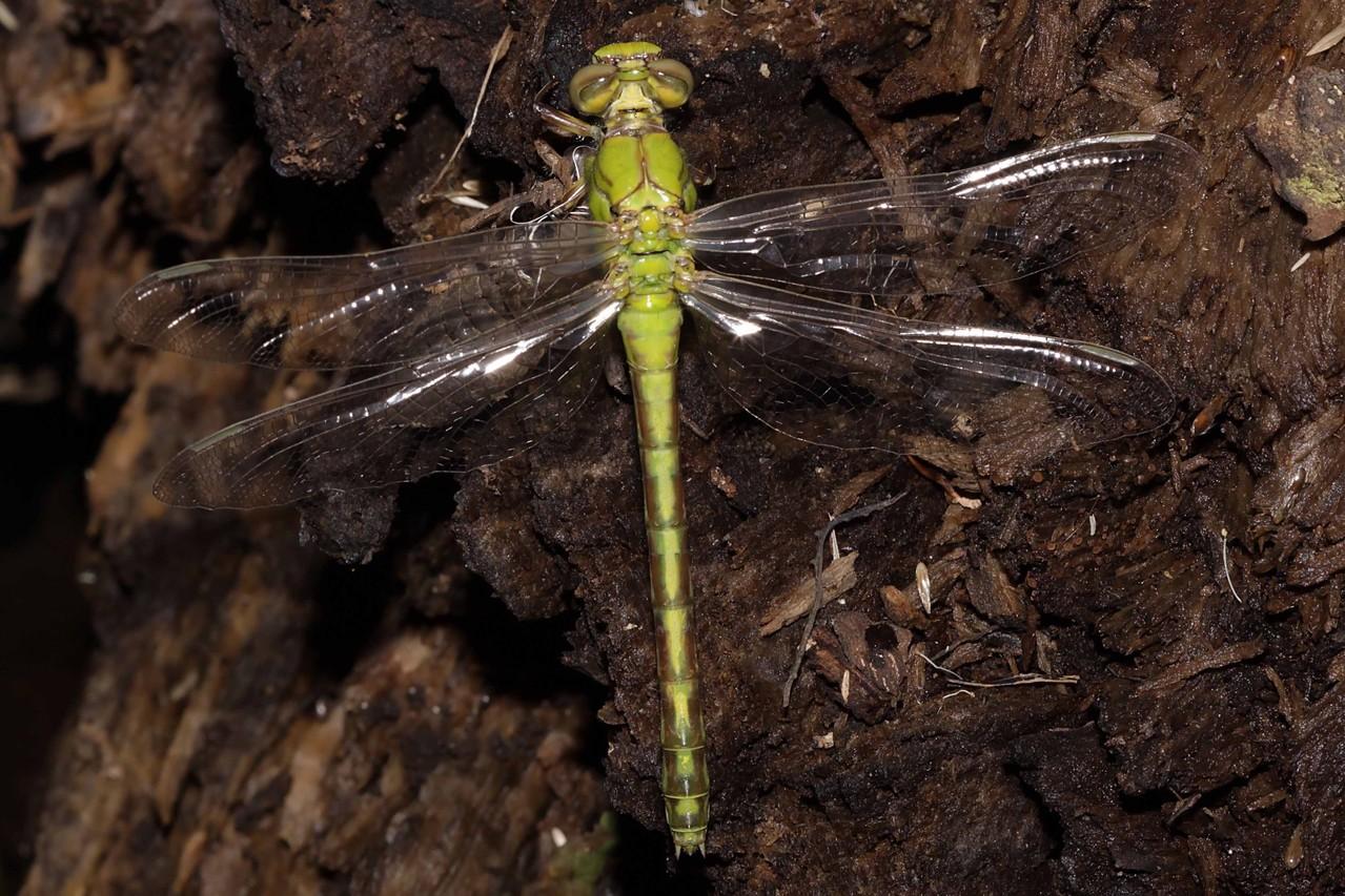 Grüne Flussjungfer, Ophiogomphus cecilia, Weibchen kurz vor dem Jungfernflug.