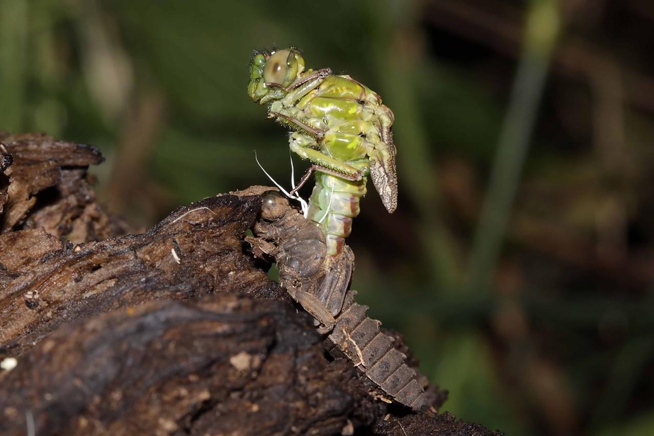 Grüne Flussjungfer, Ophiogomphus cecilia, Weibchen beim Schlupf (2).