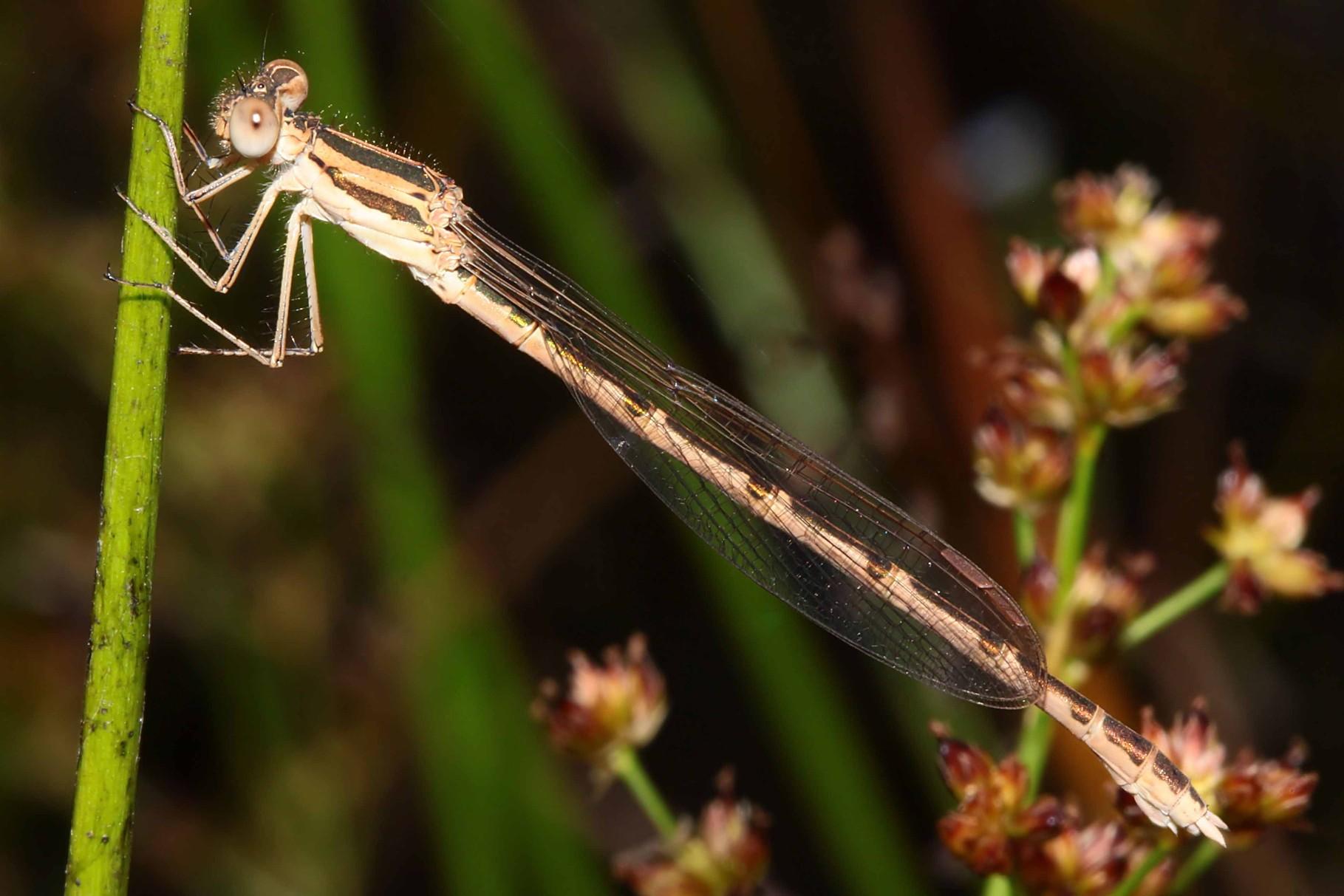 Gemeine Winterlibelle, Sympecma fusca, junges Weibchen.