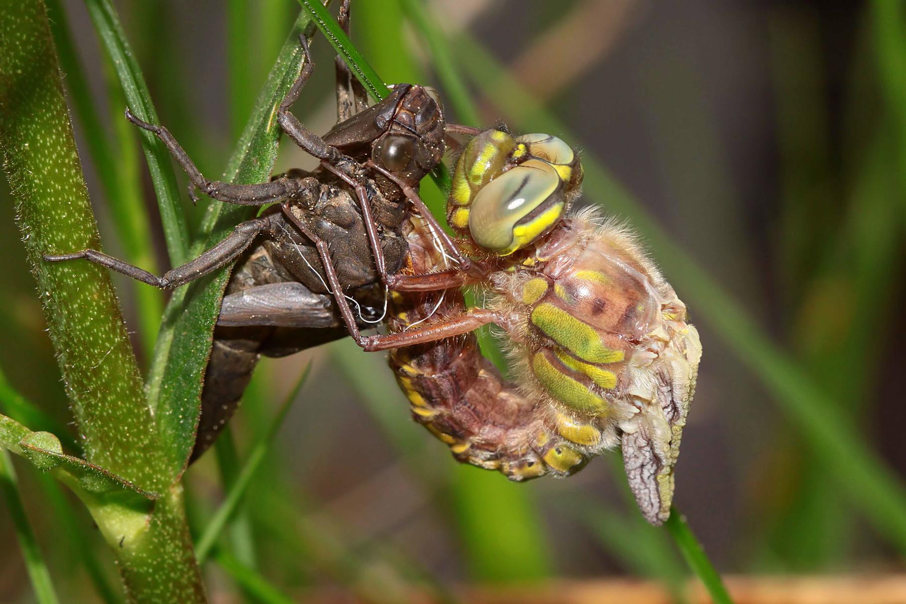 Nach einer Ruhephase von ca. 45 Minuten befreit die Libelle ihr Abdomen aus der alten Larvenhaut...