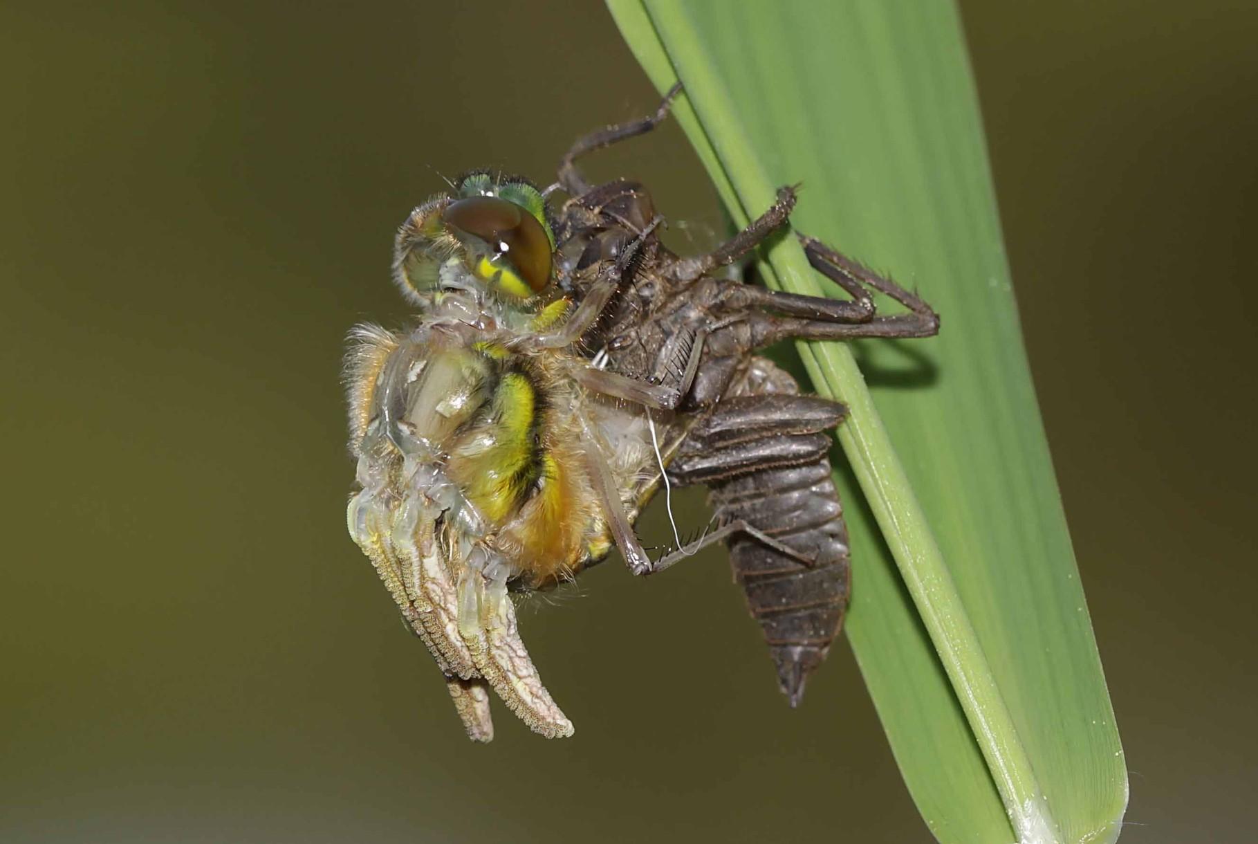 Vierfleck, Libellula quadrimculata, Männchen, Ausstieg aus der Exuvie.