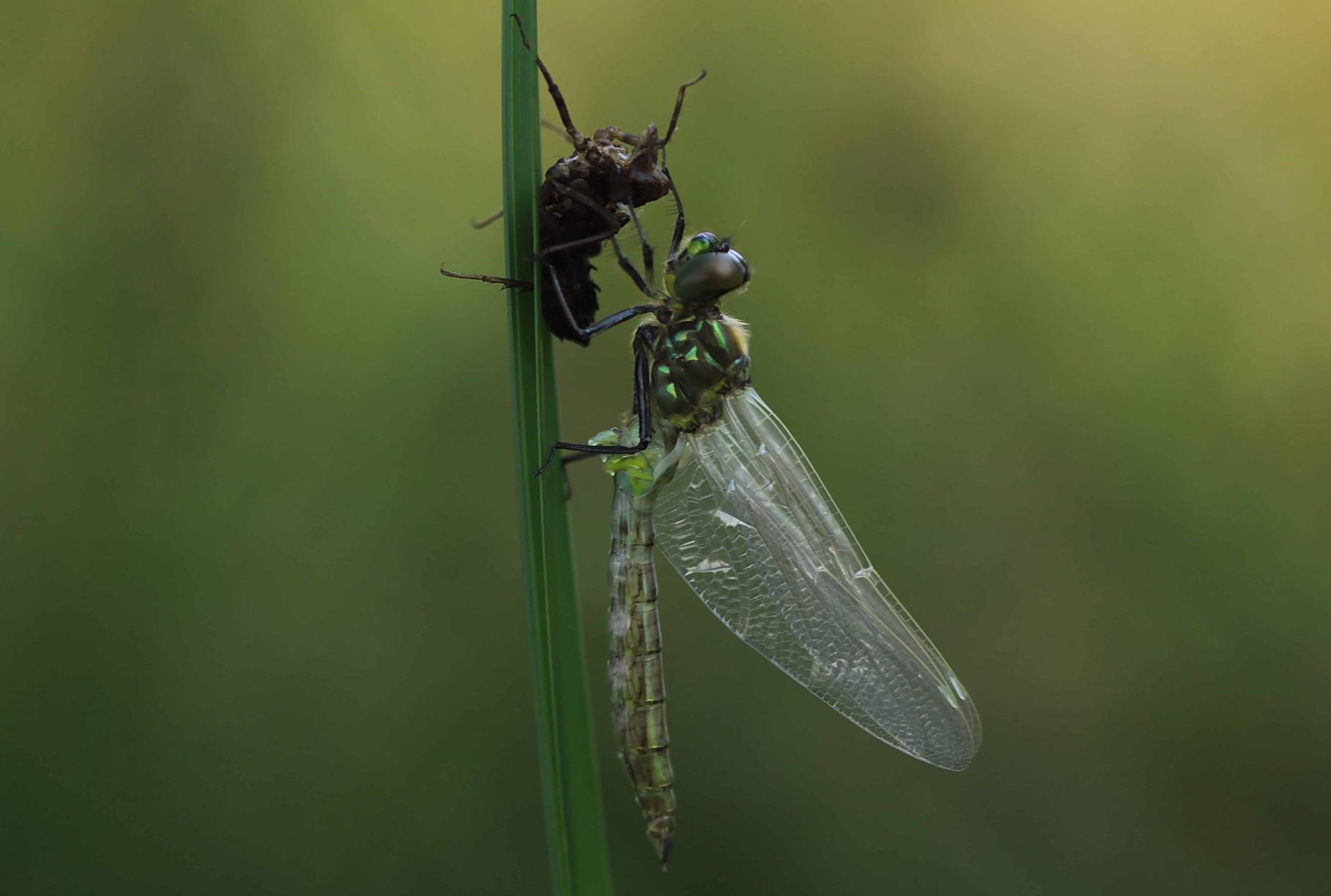 Glänzende Smaragdlibelle, Somatochlora metallica, frisch geschlüpftes Männchen.