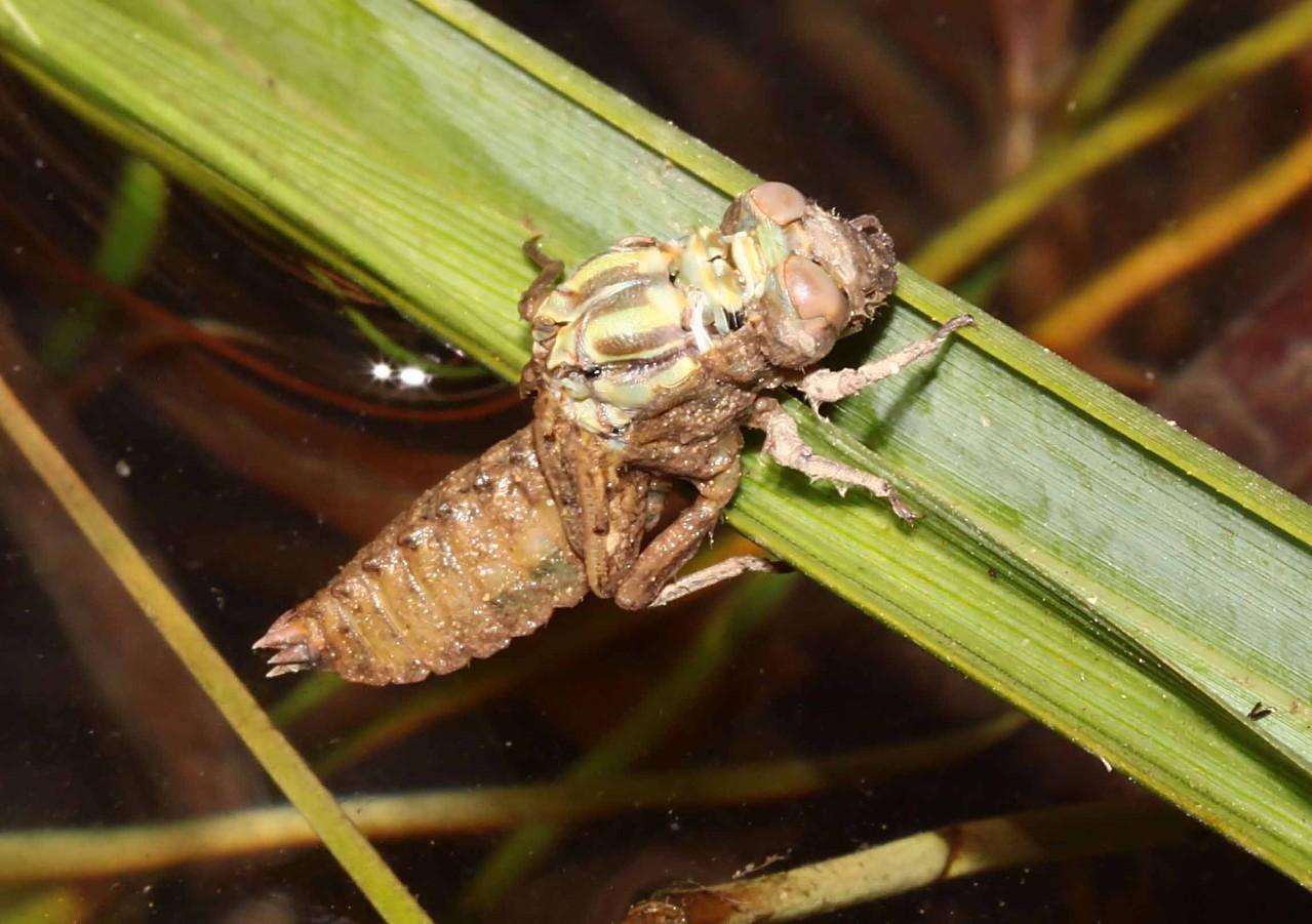 Große Zangenlibelle, Onychogomphus uncatus, Männchen beim Schlupf (1).
