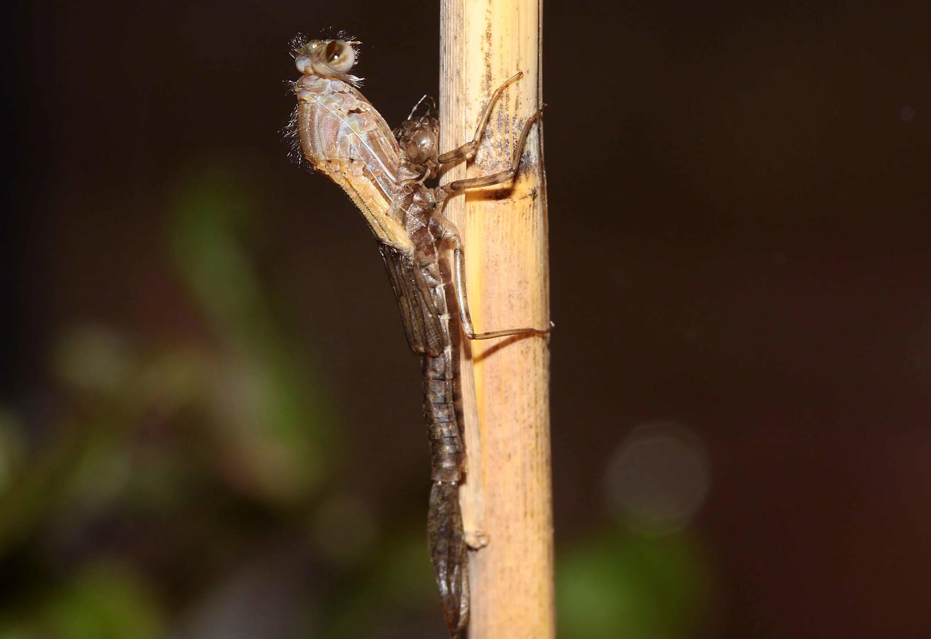 ...um sich an einem dürren Schilfhalm zur fertigen Libelle zu verwandeln.