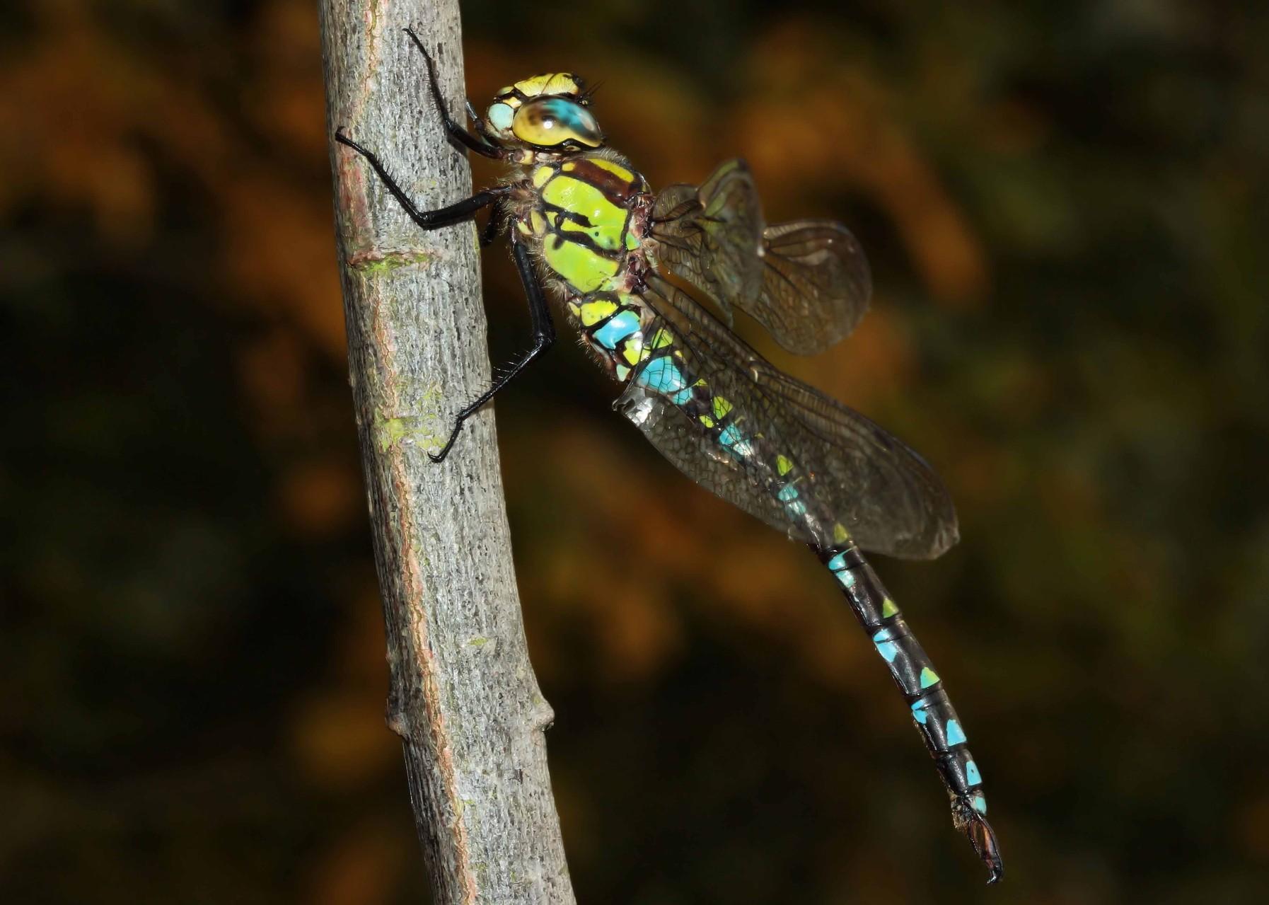 Blaugrüne Mosaikjungfer (Aeshna cyanea), Männchen.