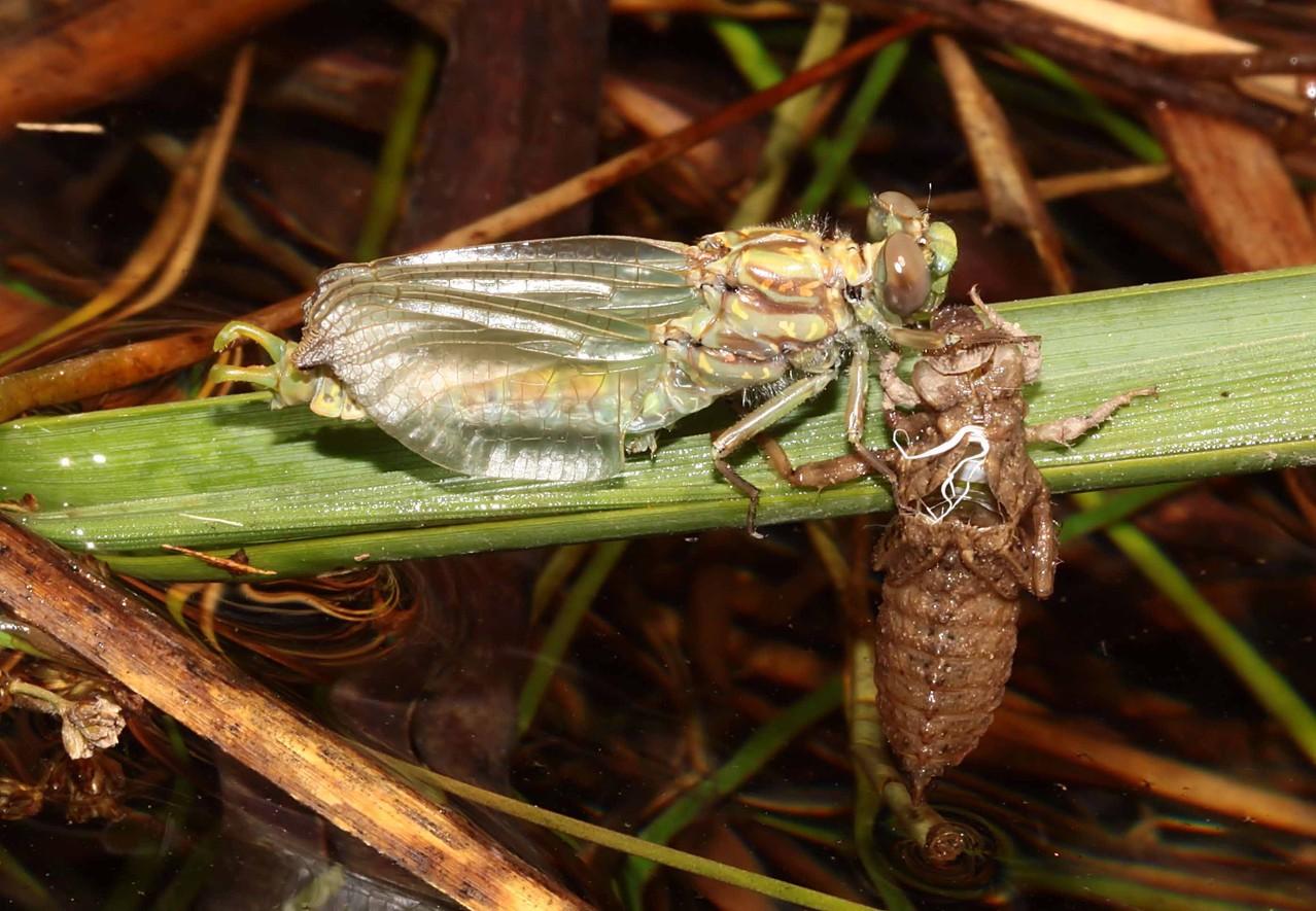 Große Zangenlibelle, Onychogomphus uncatus, Männchen beim Schlupf (4).