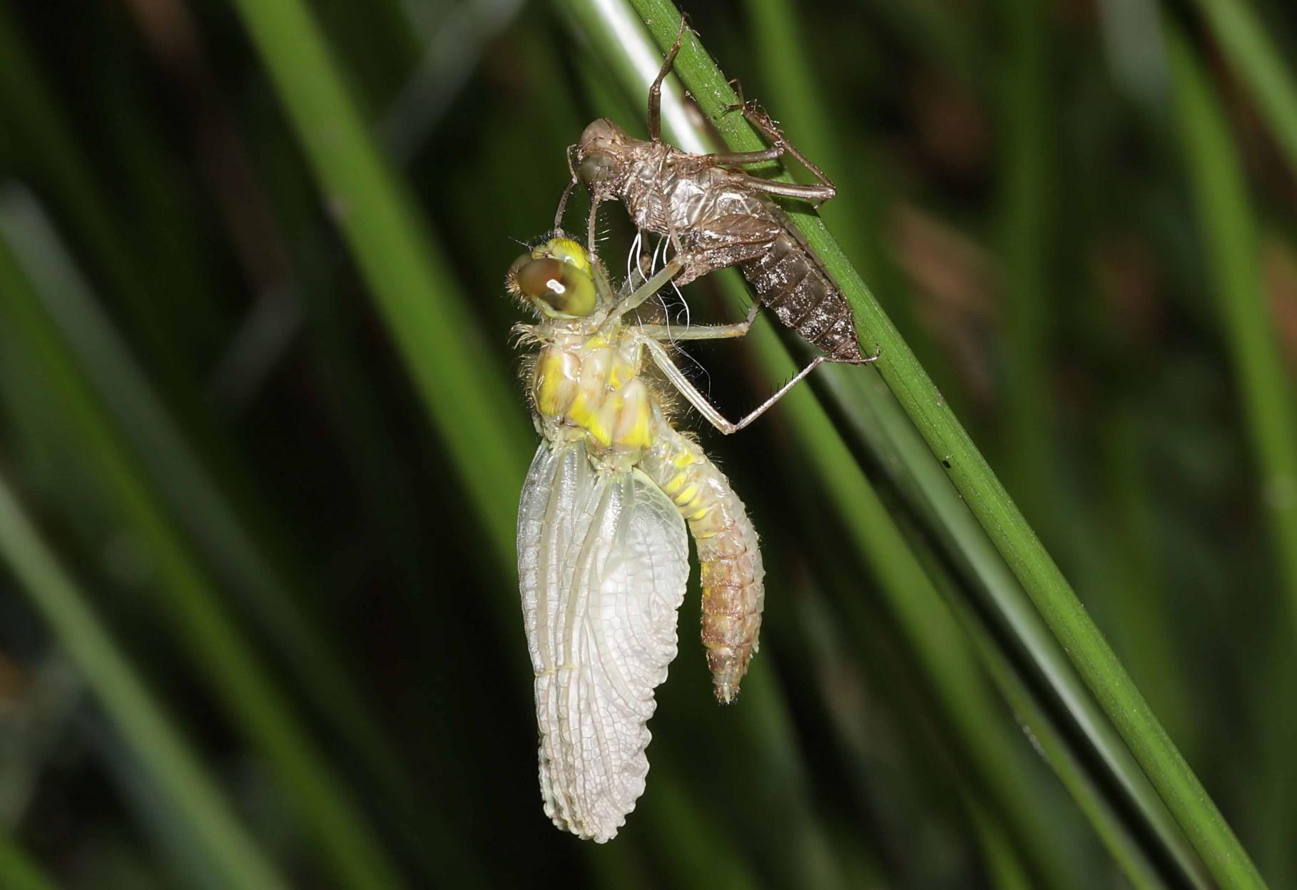 Kleine Moosjungfer, Leucorrhinia dubia, Weibchen beim Schlupf (1).