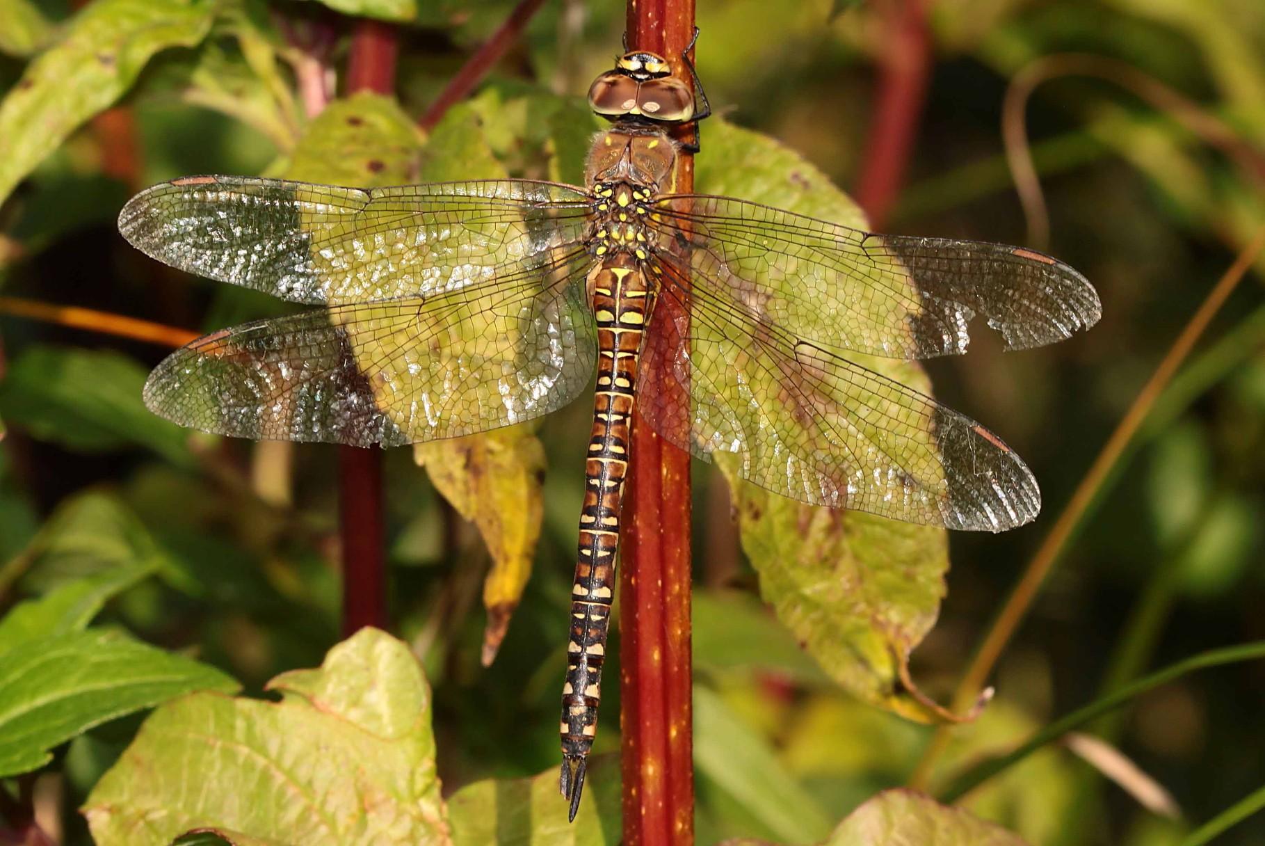 Herbst-Mosaikjungfer, Aeshna mixta, Weibchen.