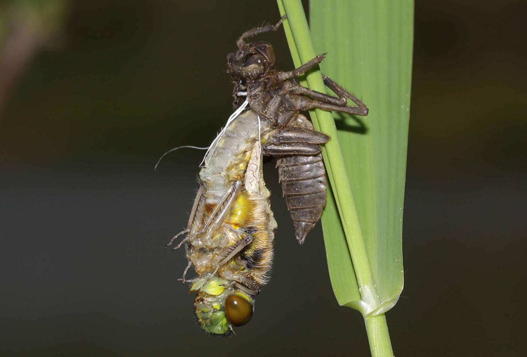 Vierfleck, Libellula quadrimculata, Männchen, während der Ruhephase der Emergenz.