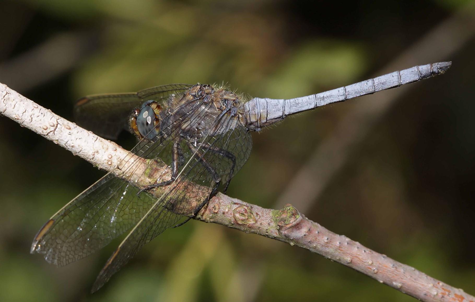 Kleiner Blaupfeil, Orthetrum coerulescens.