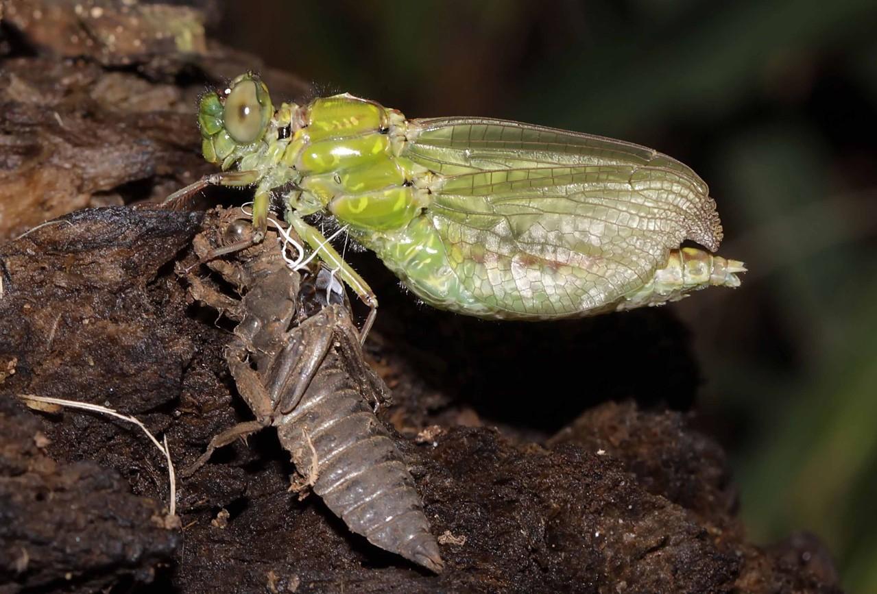 Grüne Flussjungfer, Ophiogomphus cecilia, Weibchen beim Schlupf (4).