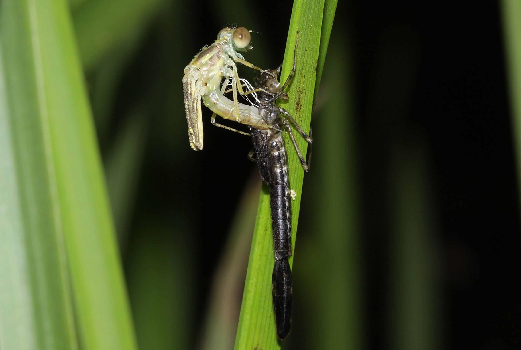 Gemeine Weidenjungfer, Chalcolestes viridis, die junge Libelle beugt sich nach vorne...