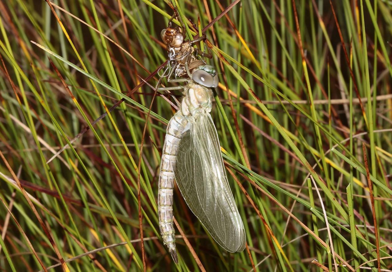 Hochmoor-Mosaikjungfer, Aeshna subarctica, Weibchen beim Schlupf (3).