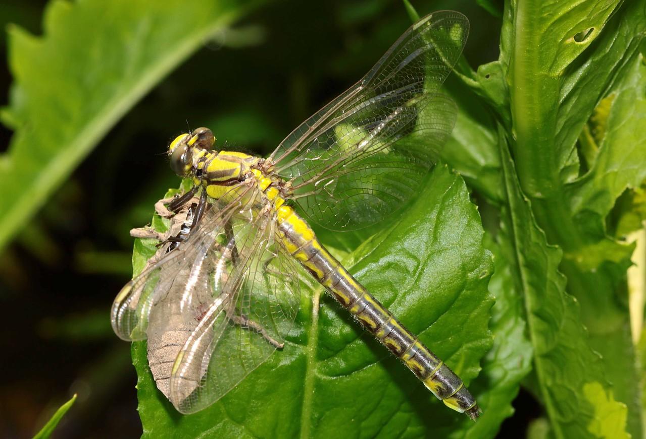 Gemeine Keiljungfer, Gomphus vulgatissimus, Weibchen kurz vor dem Jungfernflug.