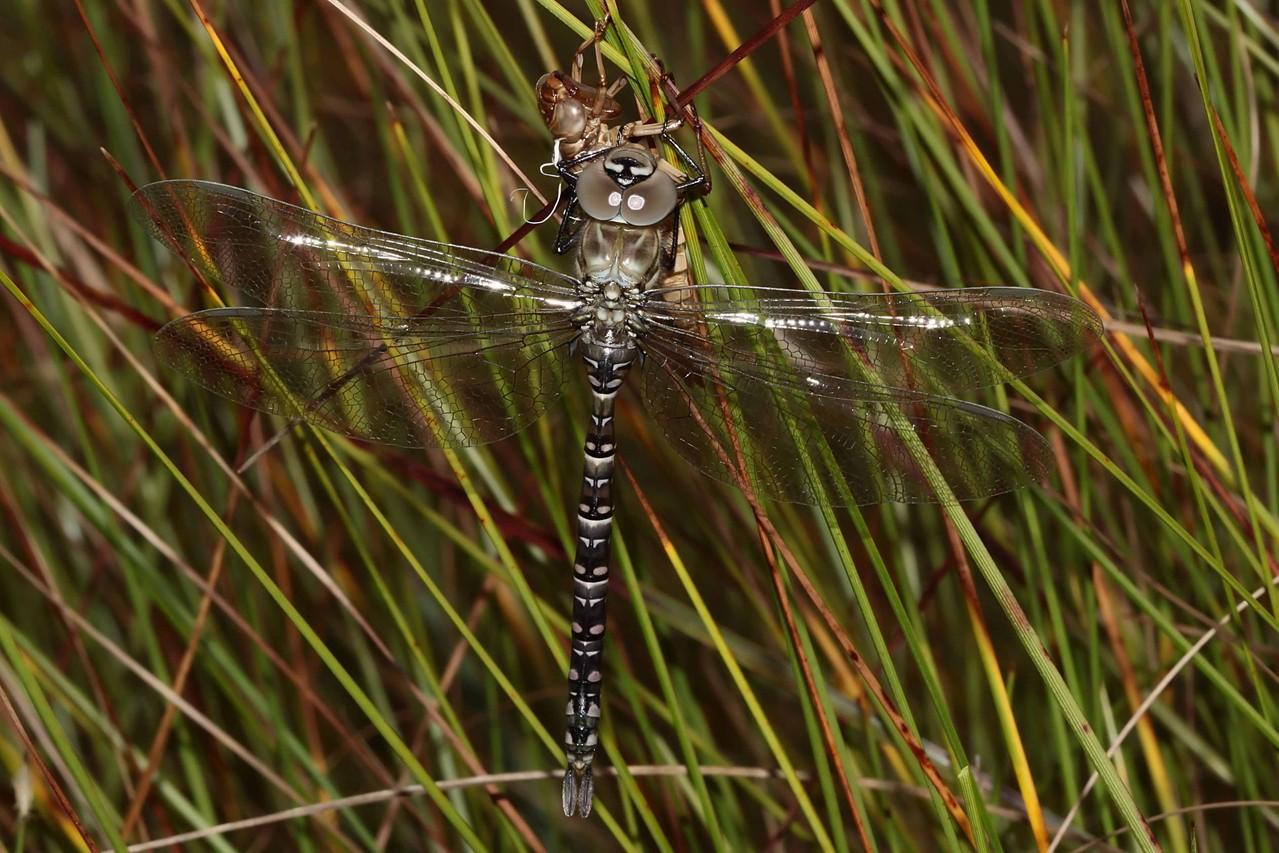 Hochmoor-Mosaikjungfer, Aeshna subarctica, Weibchen, kurz vor dem Jungfernflug.