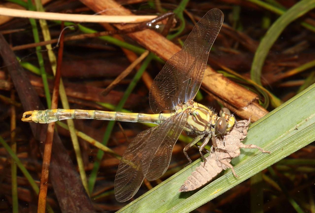 Große Zangenlibelle, Onychogomphus uncatus, Männchen kurz vor dem Jungfernflug.