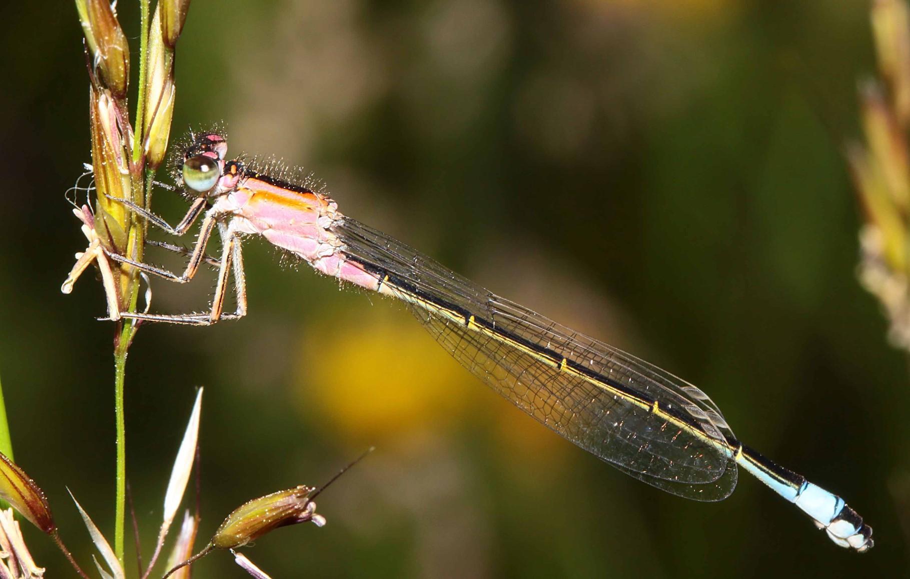 """Große Pechlibelle, Ischnura elegans, Weibchen der Jugendform """"rufescens""""."""