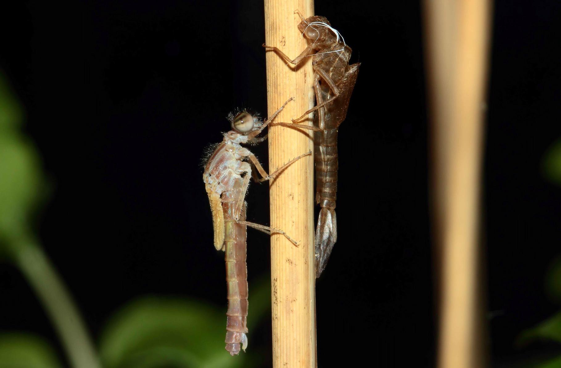 ...und beginnt ihren weichen Körper und die Flügel mit Sauerstoff und Hämolymhe (Blutflüssigkeit) aufzupumpen.