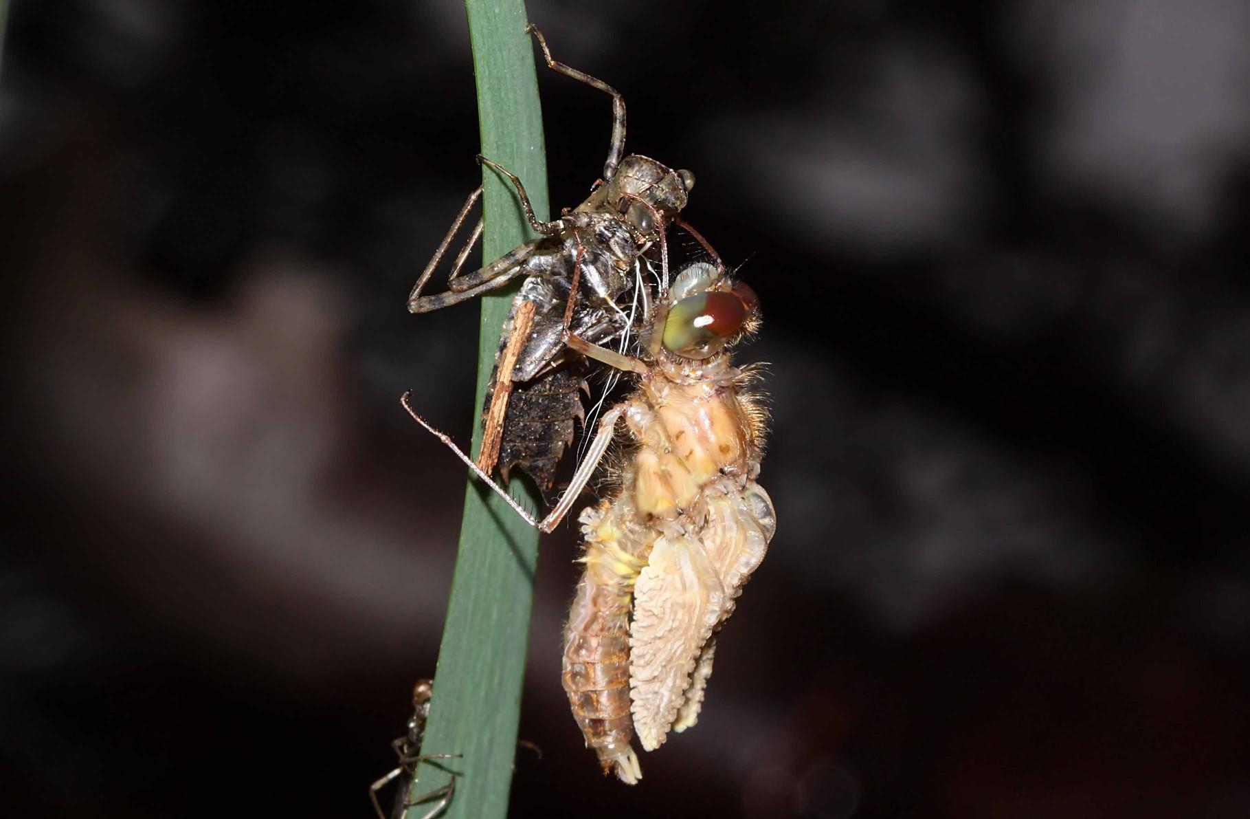Das Tier hat die alte Haut verlassen und beginnt die Flügel aufzupumpen.
