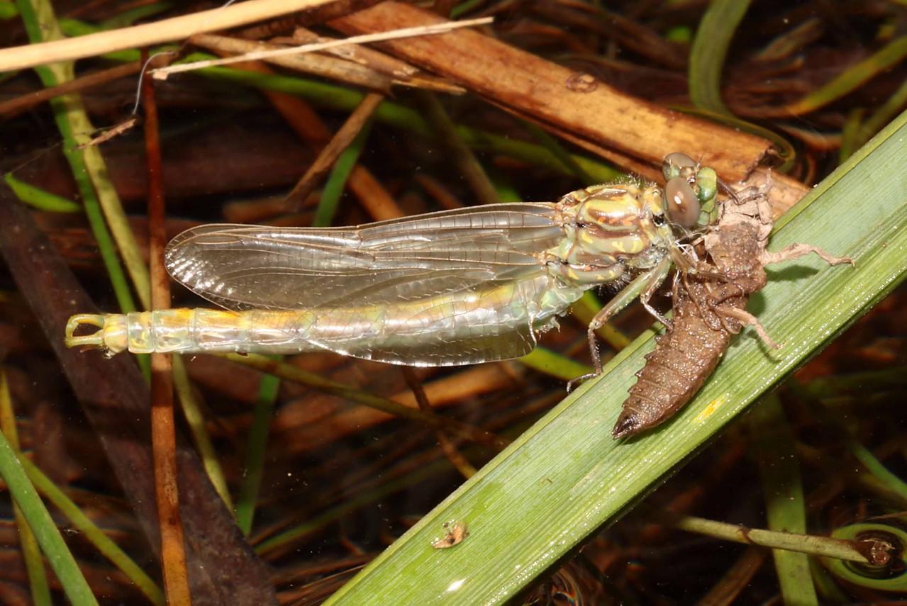 Große Zangenlibelle, Onychogomphus uncatus, Männchen beim Schlupf (5).