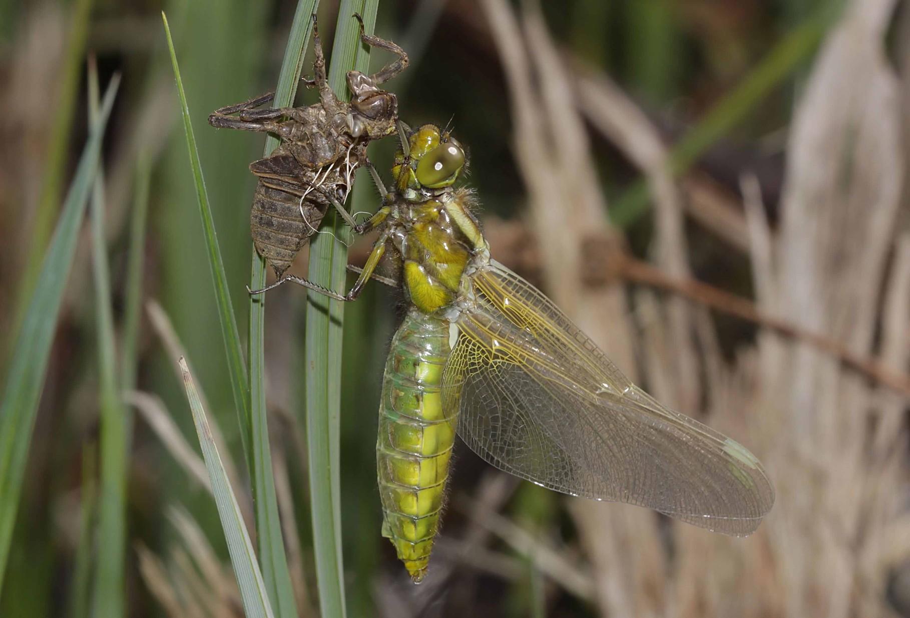 Plattbauch, Libellula depressa, Weibchen beim Schlupf (5).