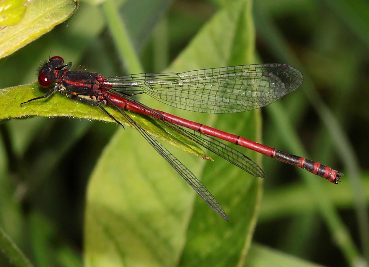 Ein Männchen der Frühen Adonislibelle, Pyrrhosoma nymphula.