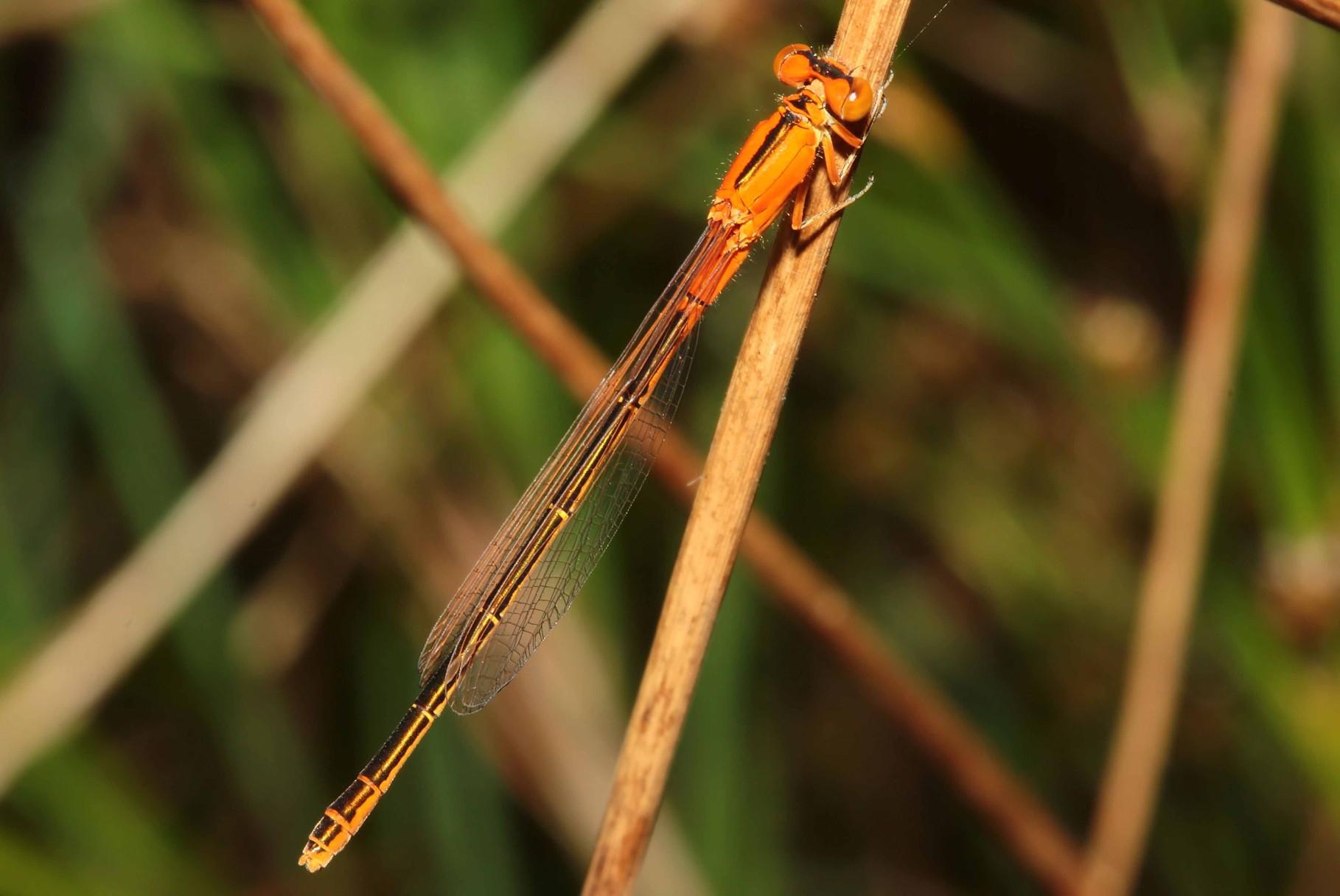"""Kleine Pechlibelle, Ischnura pumilio, junges Weibchen der """"forma aurantiaca""""."""