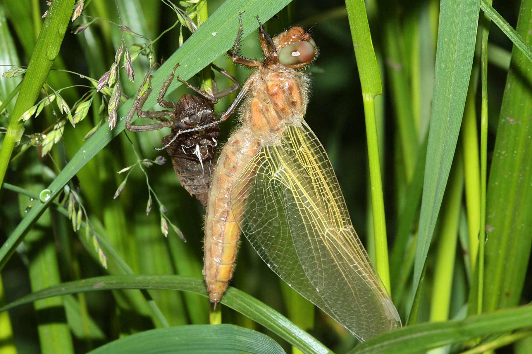 Spitzenfleck, Libellula fulva, frisch geschlüpftes Weibchen.