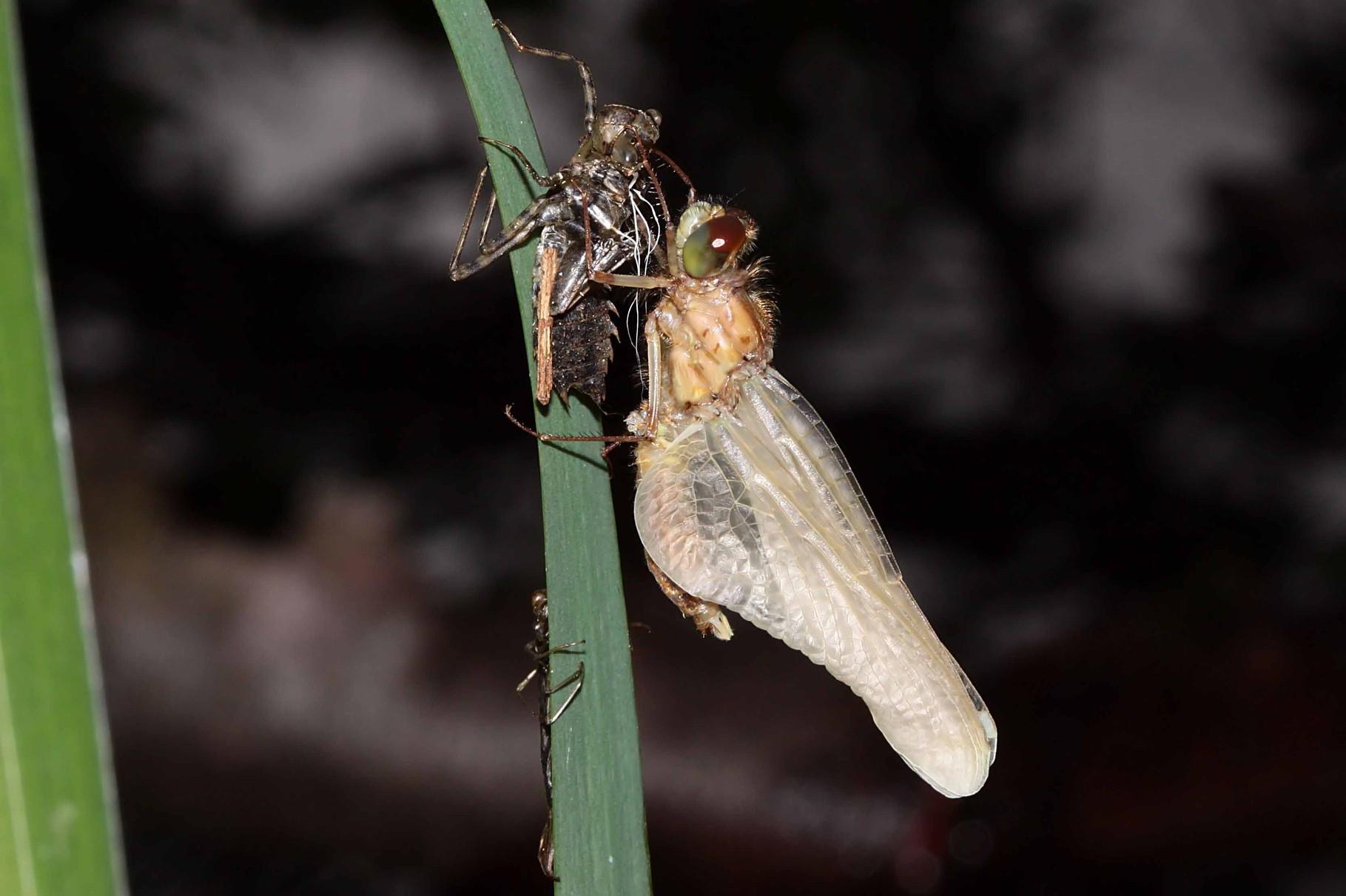 Der Hinterleib wird gestreckt und die Flügel vergrößern sich.