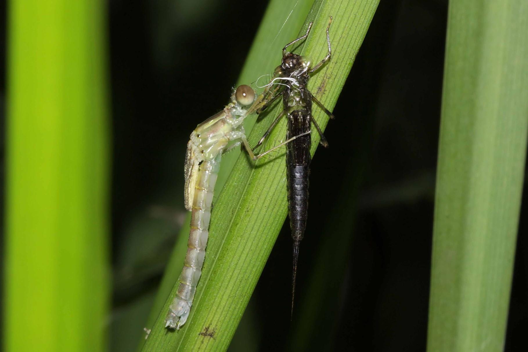 Gemeine Weidenjungfer, Chalcolestes viridis, Weibchen beim Schlupf.
