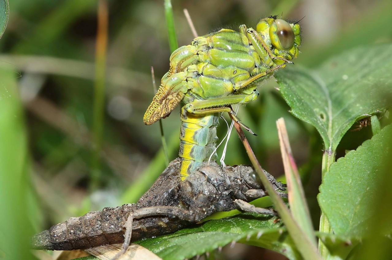 Westliche Keiljungfer, Gomphus pulchellus, Weibchen bei der Emergenz (1).