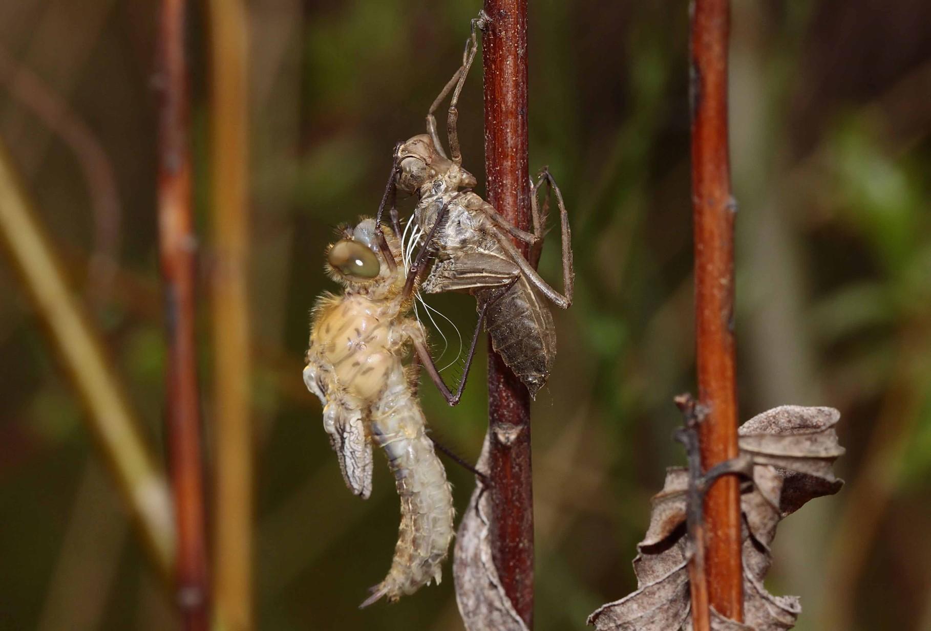 Aufpumpen der Flügel mit Hämolymphe, strecken des Abdomens.