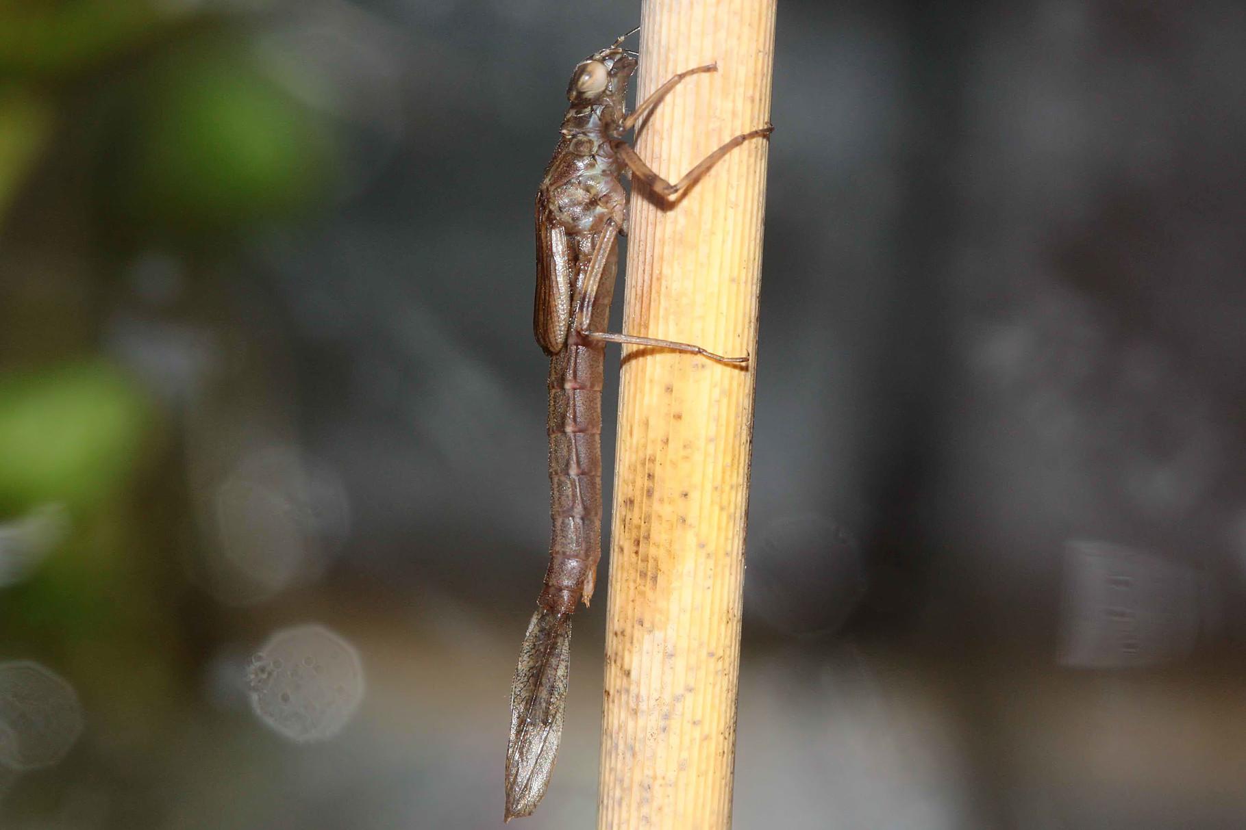 Eine schlupfbereite Larve der Großen Pechlibelle, Ischnura elegans, hat das Wasser endgültig verlassen...