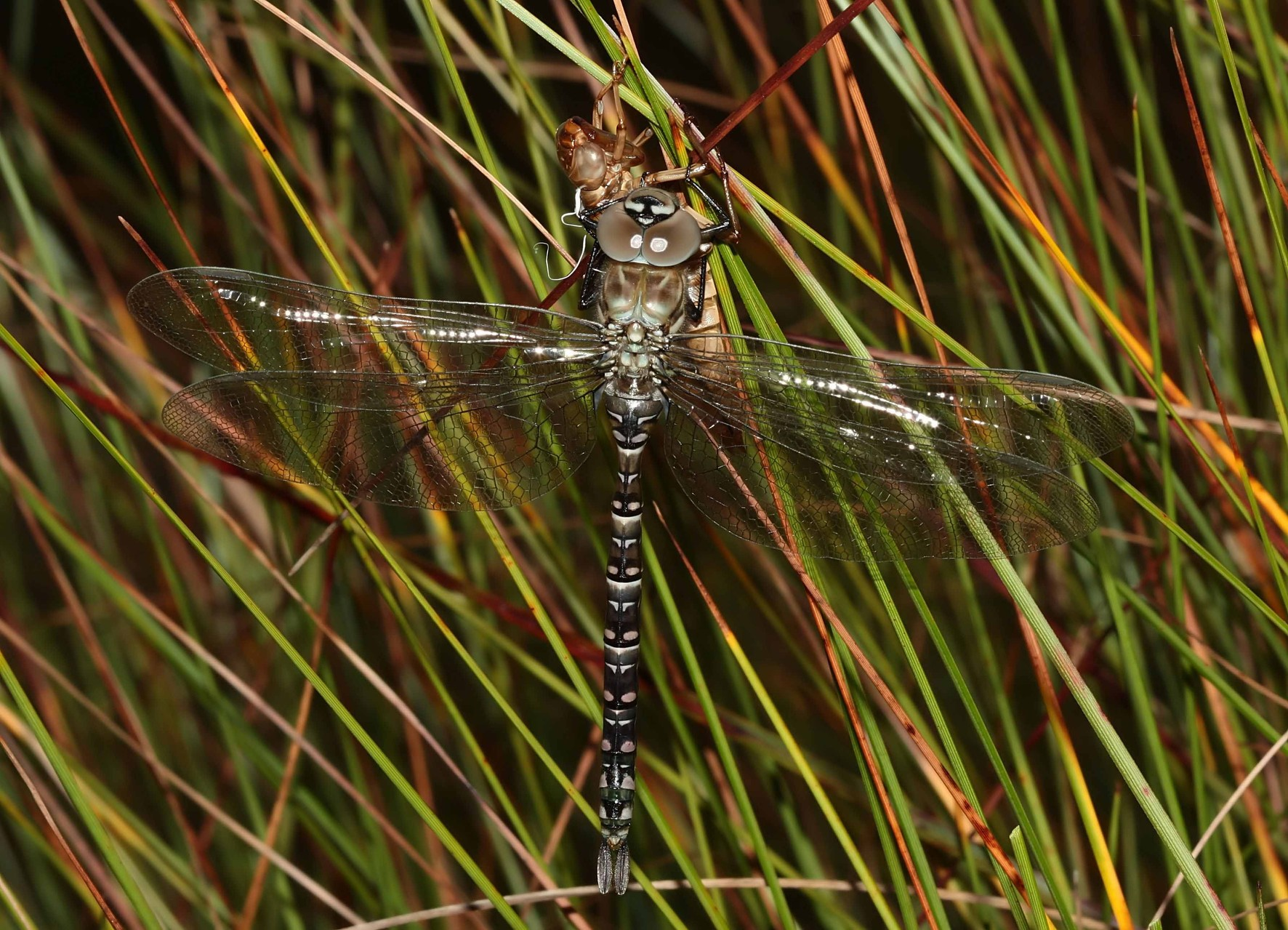 Hochmoor-Mosaikjungfer, Aeshna subarctica elisabethae, junges Weibchen.