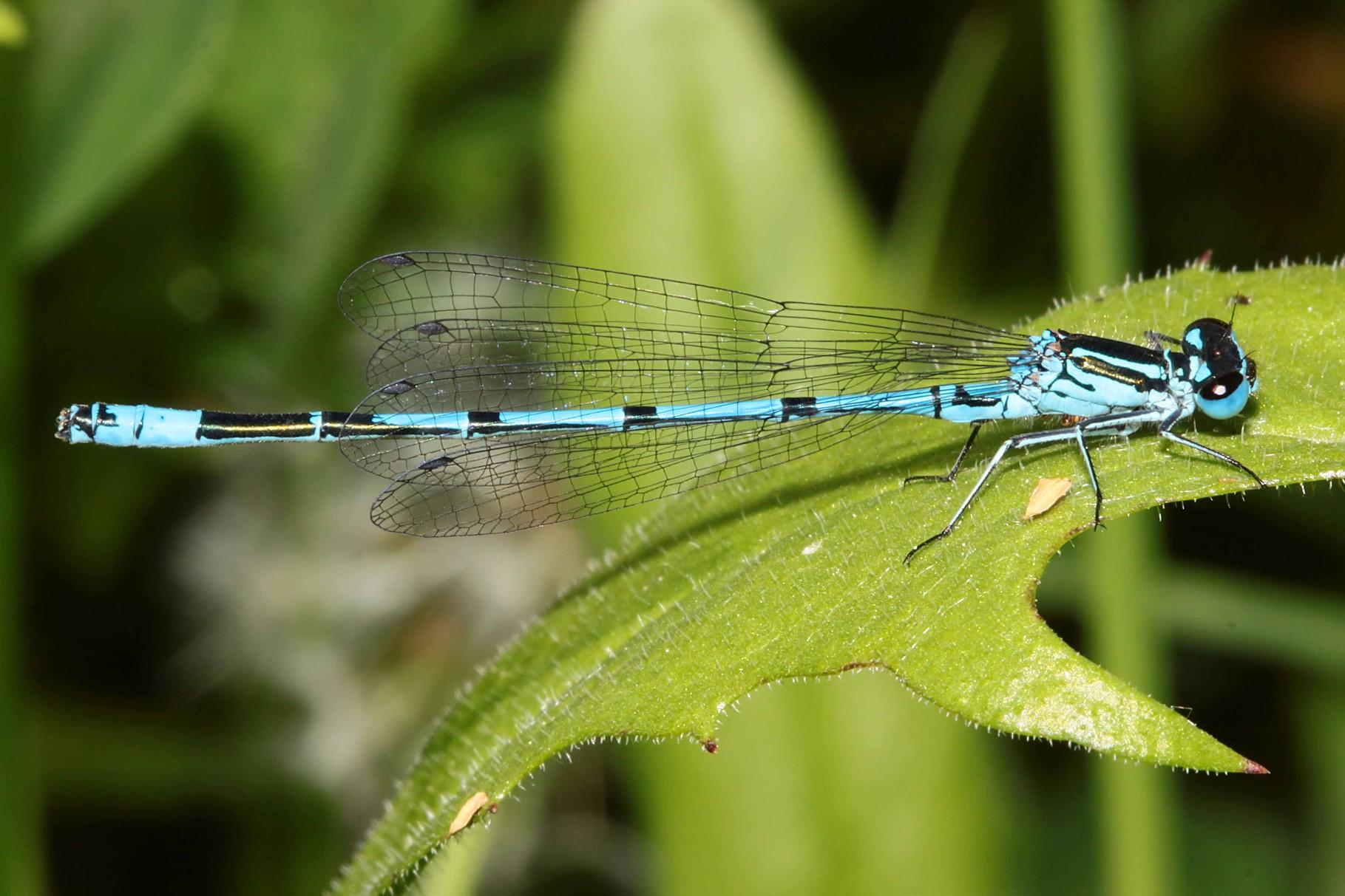 Hufeisen-Azurjungfer, Coenagrion puella, Männchen.