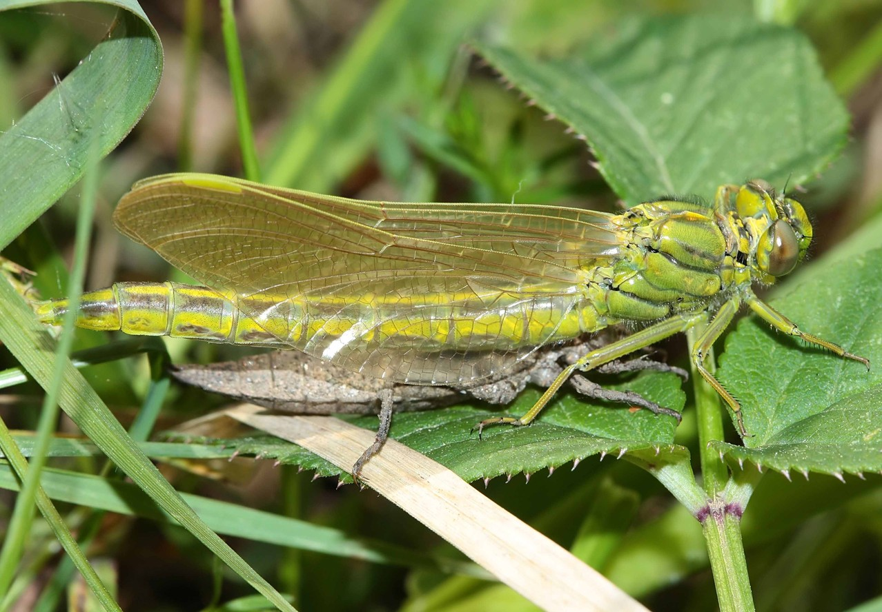 Westliche Keiljungfer, Gomphus pulchellus, Weibchen bei der Emergenz (4).