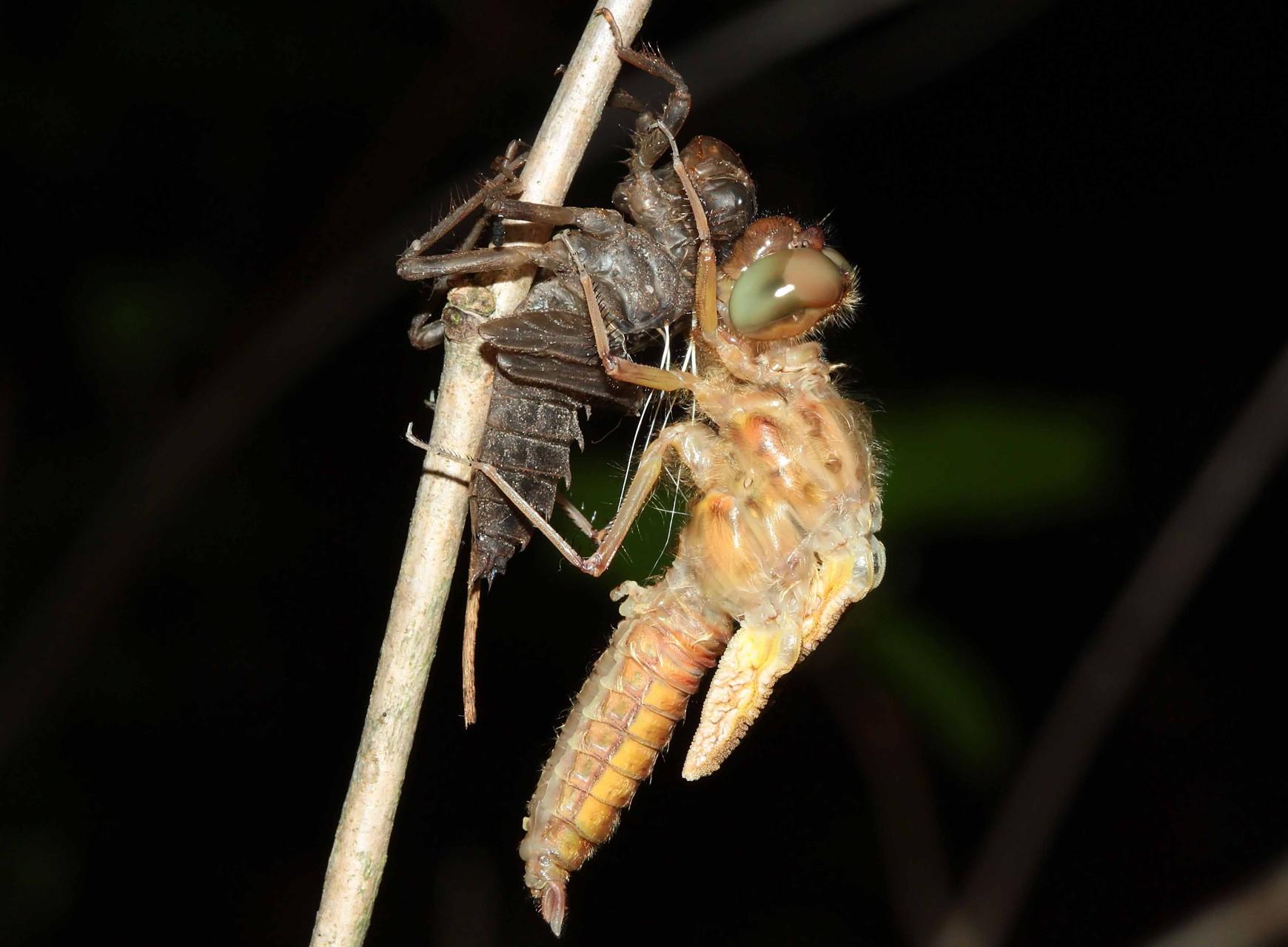 Spitzenfleck, Libellula fulva, es ist ein Männchen.