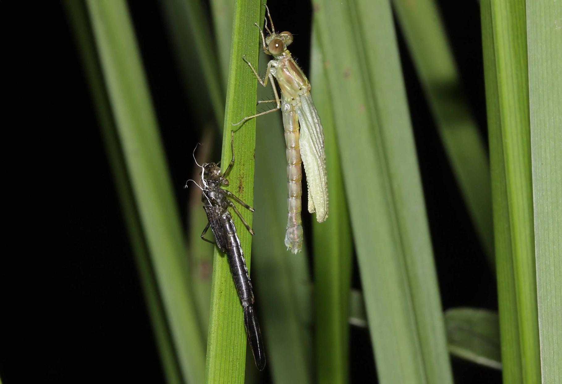 Gemeine Weidenjungfer, Chalcolestes viridis, Weibchen beim Schlupf (3).