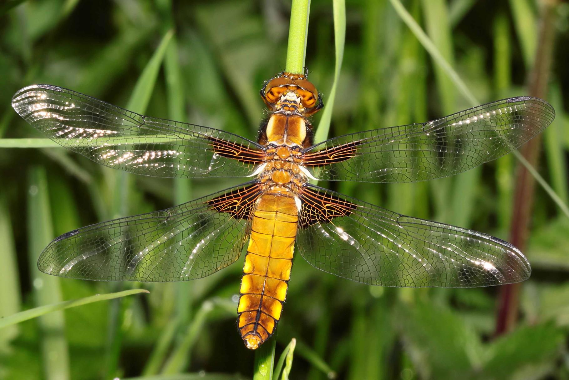 Plattbauch (Libellula depressa), Weibchen.