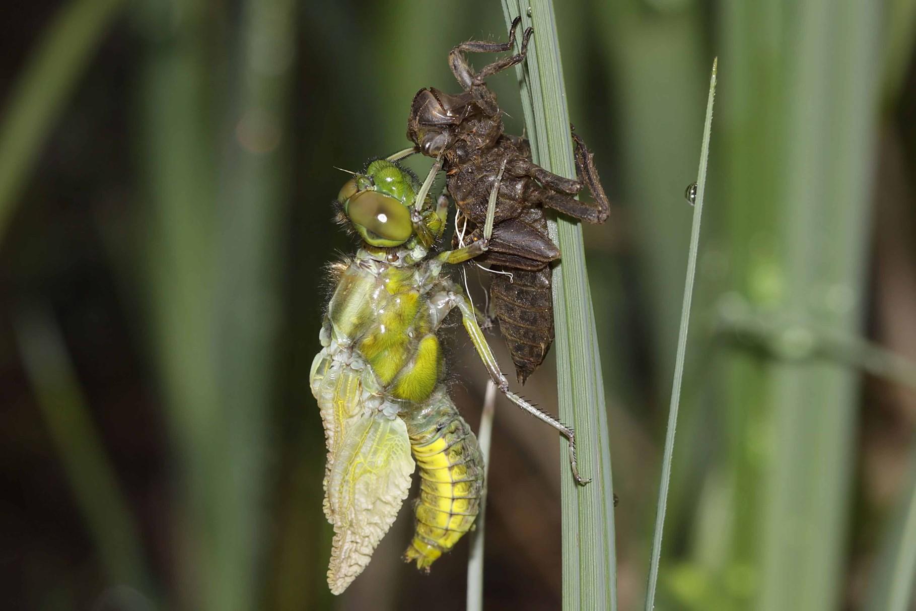 Plattbauch, Libellula depressa, Weibchen beim Schlupf (1).